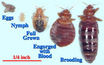 Bed Bug Growth Stages: Eggs, Nymph, Full Grown, Engorged, Brooding