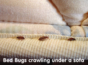bed bugs crawl anywhere